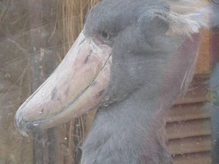 大きい鳥の顔 小