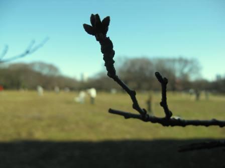 桜の蕾 2