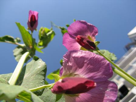 豆の花 1
