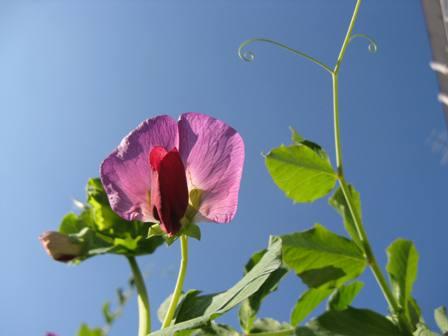 豆の花 2