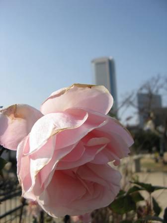 薔薇とビル