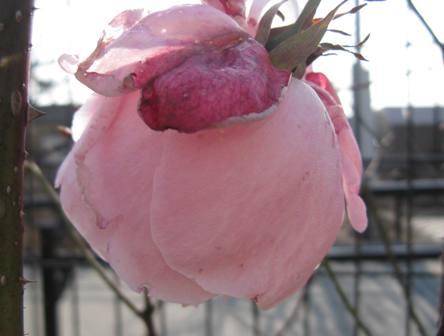 ピンク玉バラ