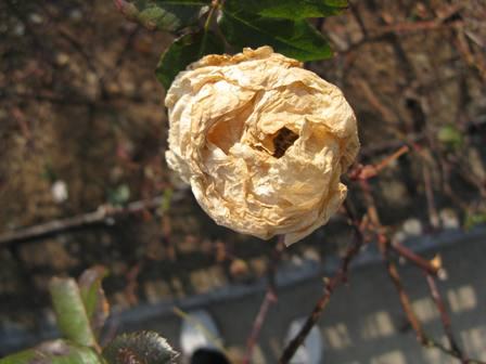 枯れたバラ2