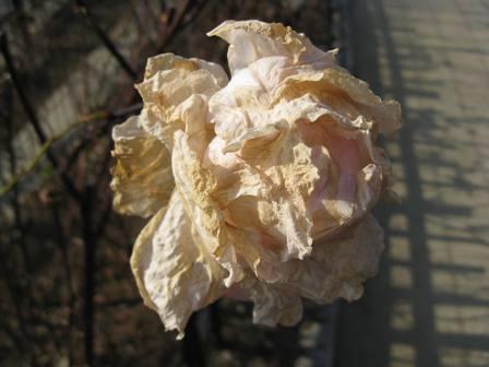 枯れたバラ