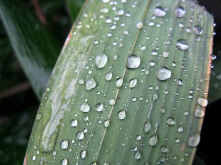 笹の上の水滴