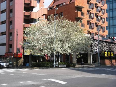 原宿の桜2
