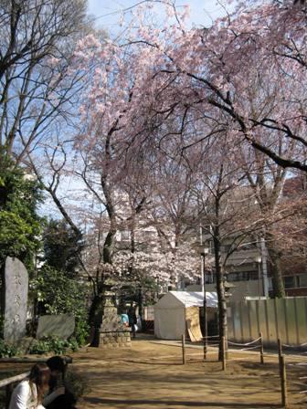 パワースポットの桜