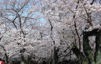 @yasukuni_sakura_kaguradoumae.jpg