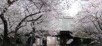 @yasukuni_sakura_shinmonnai.jpg