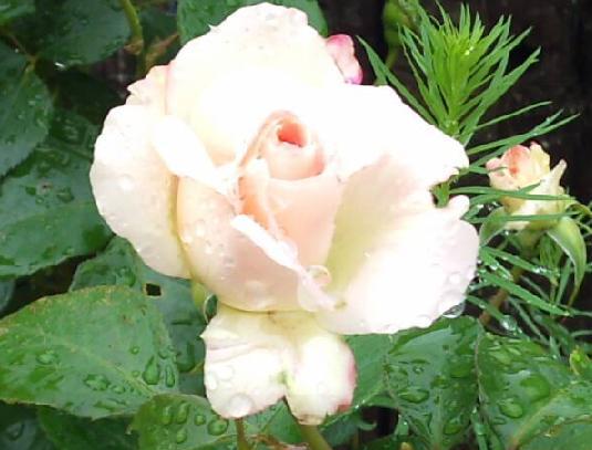 マチルダ開花