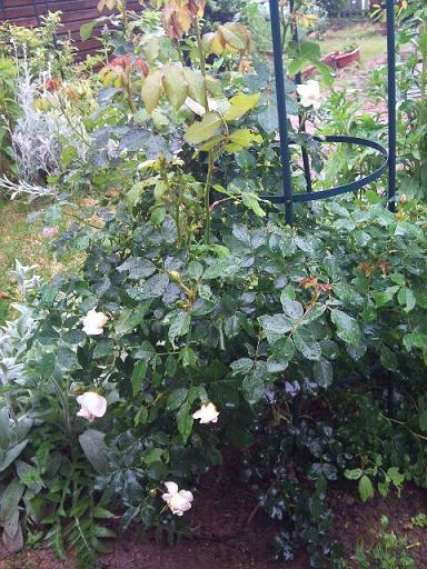 白いバラ大