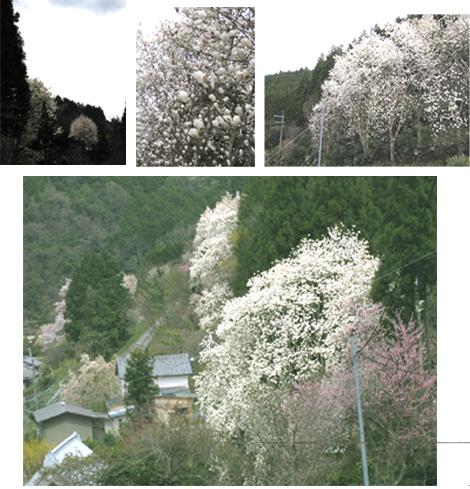 mokuren2.jpg