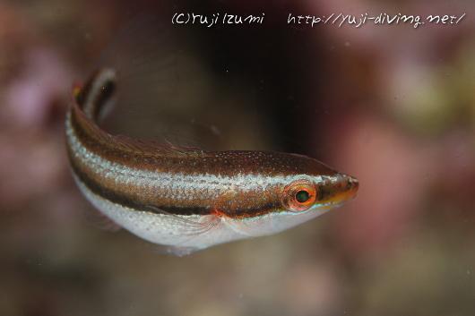 カミナリベラ(幼魚)