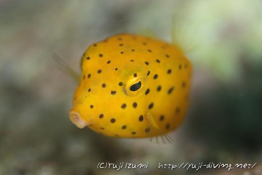 ハコフグ(幼魚)