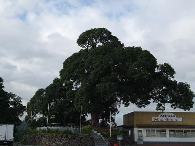 マンゴの木