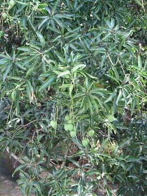 マンゴの実