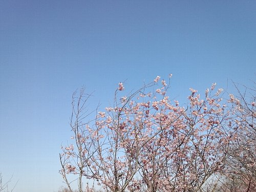 初御代桜   2012