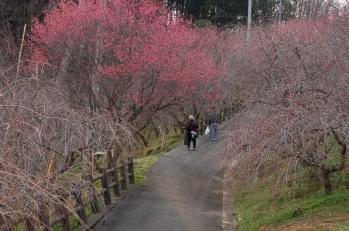 津山市神代梅の里公園 梅開花状況(平成24年3月16日現在)