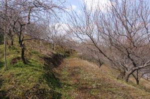 津山市神代梅の里公園梅開花状況(平成24年2月24日現在)