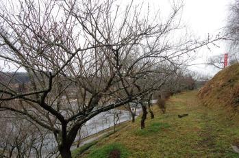 津山市神代梅の里公園梅開花状況(平成24年3月5日現在)