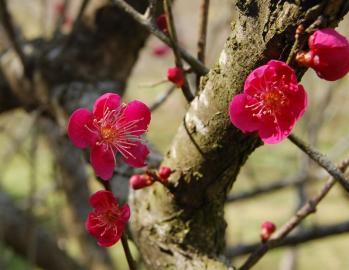 津山市神代梅の里公園梅開花状況(平成24年3月21日現在)