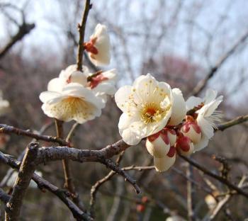 津山市神代梅の里公園梅開花状況(平成24年3月27日現在)