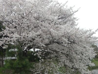 舞鶴公園桜00 2009・03・29