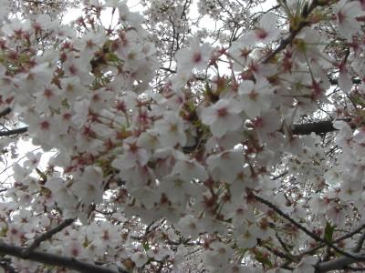 舞鶴公園桜01 2009・03・29