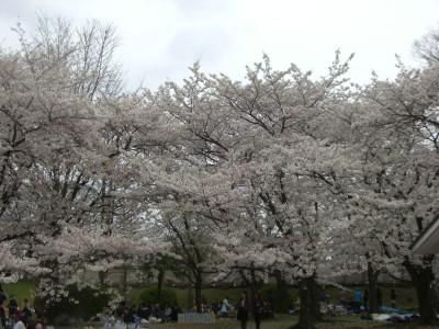 舞鶴公桜02 2009・03・29