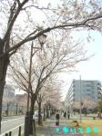 桜並木を突き進むあたい