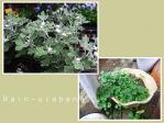 頂いたアシズリノギクと養生中の白花シンバラリア♪