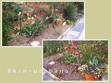 切花用ガーベラを植えました♪