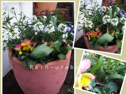 春、楽しみな1鉢♪