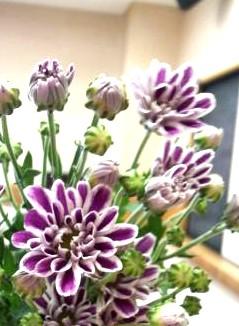 スプレー菊