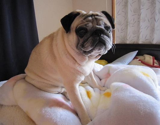 干して取りこんだばかりの毛布に乗っています。