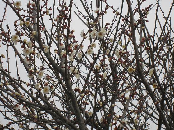 もう梅が咲いちゃいました
