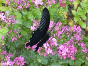 揚羽蝶、大和1