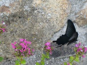 揚羽蝶、大和2