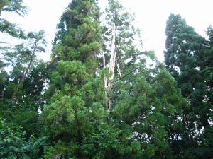 雷の落ちた杉1