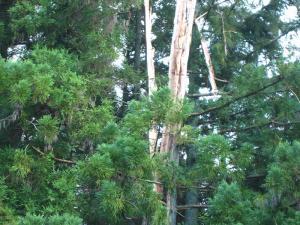 雷の落ちた杉2