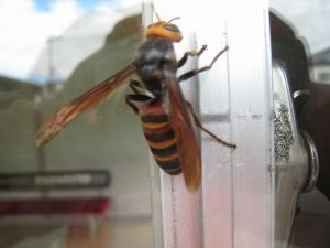 スズメバチ、
