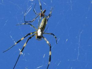 クモ、蜘蛛、番、オス・メス、1