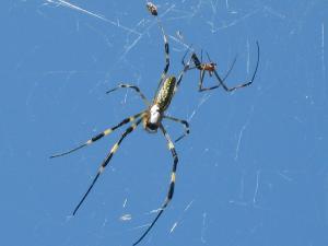 クモ、蜘蛛、番、オス・メス、3