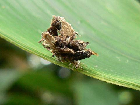 080802 クサカゲロウの幼虫