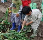 玉葱の収穫(力いっぱい)ブログrecord