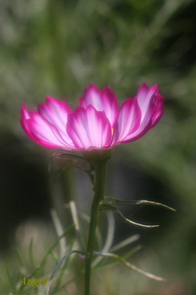 一輪の花Angel2
