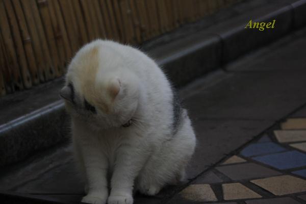 浅草の看板猫Angel3