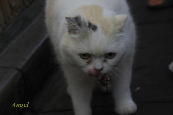 浅草の看板猫Angel5