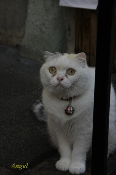 浅草の看板猫Angel6