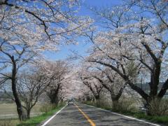 2009sakura-cub1.jpg